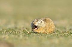 Écureuil au sol européen (citellus de Spermophilus) Photographie stock libre de droits