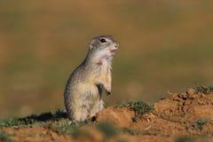 Écureuil au sol européen (citellus de Spermophilus) photographie stock