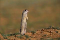 Écureuil au sol européen (citellus de Spermophilus) image stock