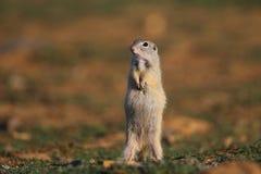 Écureuil au sol européen (citellus de Spermophilus) images stock