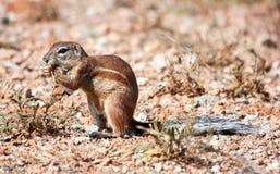 Écureuil au sol mangeant des graines d'herbe Photos libres de droits