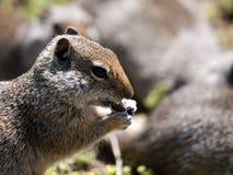 Écureuil au sol mangeant la graine Photographie stock