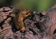 Écureuil au sol mexicain Images libres de droits