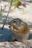 Écureuil au sol mignon Image libre de droits