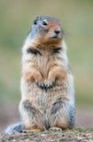 Écureuil au sol mignon P Photographie stock libre de droits