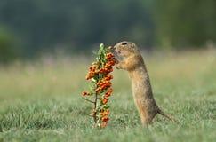 Écureuil au sol sauvage Photo libre de droits
