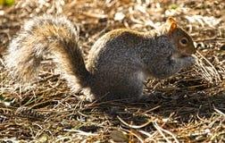 Écureuil aux jardins Bournemouth de pavillon Images libres de droits