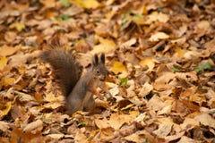 Écureuil avec des dents d'écrou images libres de droits