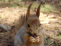 Écureuil avec l'écrou Photos stock