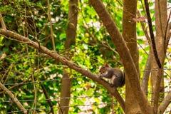 Écureuil avec le gland sur l'arbre Photographie stock
