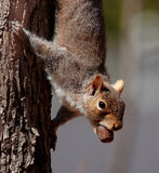 Écureuil avec le loquet heureux Image stock