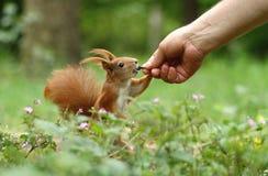 Écureuil avec le loquet heureux photos libres de droits