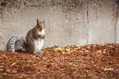 Écureuil avec le loquet heureux Photographie stock