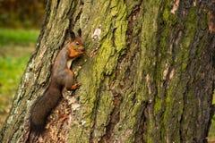 Écureuil avec un écrou dans les dents images libres de droits