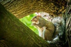 Écureuil avec une châtaigne Photos libres de droits