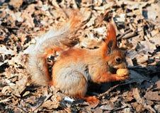 Écureuil avec une noix Photographie stock libre de droits