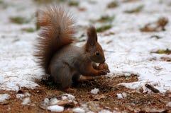 Écureuil avec une noix Images stock