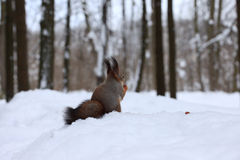 Écureuil avec une noix dans la forêt d'hiver Image stock