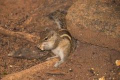 Écureuil ayant sa nourriture Photo libre de droits