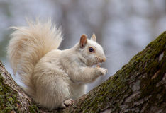 Écureuil blanc (carolinensis de Sciurus) Image libre de droits