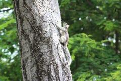 Écureuil blanc en Costa Rica Photo libre de droits