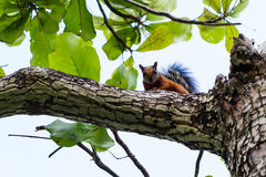 Écureuil brun tropical photographie stock libre de droits