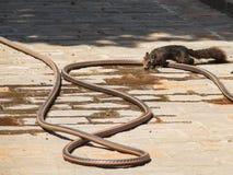Écureuil buvant du tuyau flexible Photographie stock