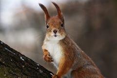 Écureuil curieux Image stock