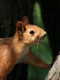 Écureuil curieux Images libres de droits