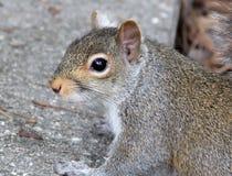Écureuil curieux Photographie stock