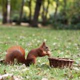 Écureuil curieux Photos stock