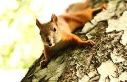 Écureuil curieux Image libre de droits