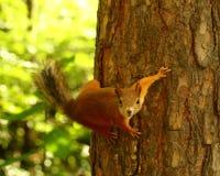 Écureuil curieux Photo stock