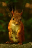 Écureuil curieux Images stock
