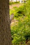Écureuil curieux grimpant à un arbre regardant à l'appareil-photo images stock