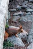 Écureuil curieux jetant un coup d'oeil de dessous le pont images libres de droits