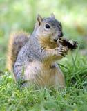Écureuil curieux restant sur la consommation de pattes de derrière Images stock
