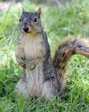 Écureuil curieux restant sur les pattes de derrière Photos stock