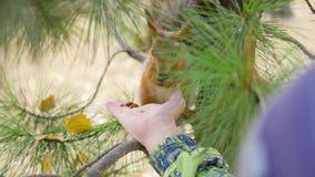 Écureuil d'alimentation des enfants de main en parc banque de vidéos