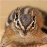 Écureuil d'antilope posant pour un portrait Images libres de droits