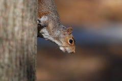 Écureuil d'arbre Images libres de droits