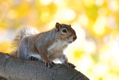 Écureuil d'arbre Photo stock