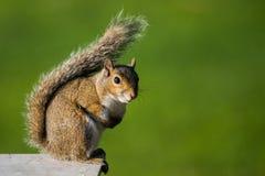Écureuil d'arbre Photo libre de droits