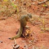 Écureuil d'arbre (cepapi de Paraxerus) Image stock