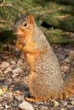 Écureuil d'arbre curieux Image stock