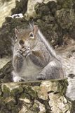Écureuil d'arbre mangeant un écrou sur un tronçon d'arbre en nature Image stock