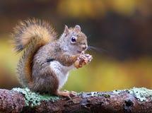 Écureuil d'automne Image stock