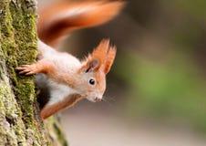 Écureuil d'Europan Images stock