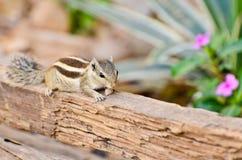 Écureuil d'Indien de tamia Photos libres de droits