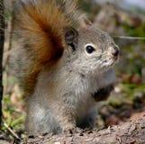 Écureuil d'oeil mauvais photos libres de droits